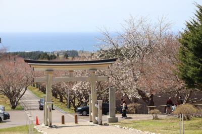 函館 桜巡り3日目
