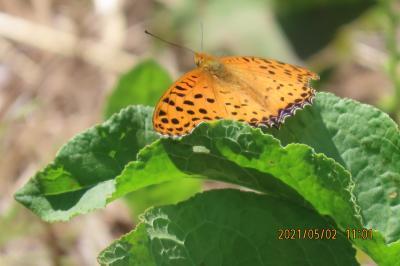 2021森のさんぽ道で見られた蝶⑨ツマグロヒョウモン、ツバメシジミ、ヤマトシジミ、ベニシジミ等