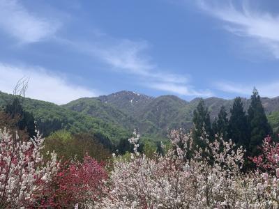 越前大野のハナモモと芝桜2021