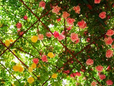 バラが咲き始めの京成バラ園 -2021.4.30-