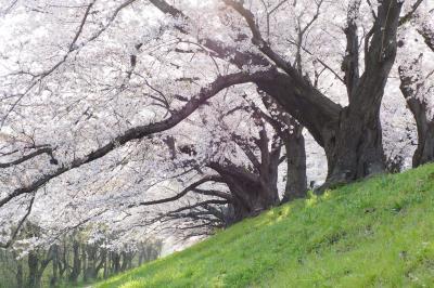 春爛漫の京都・近江桜旅(4)こんな桜みたことない! 背割堤 圧巻の桜並木