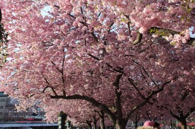 ストックホルム 王立公園の桜
