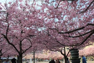 ストックホルム 王立公園の桜2