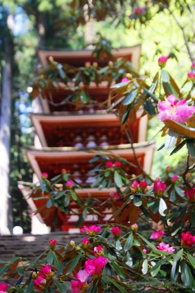 しゃくなげが咲き始めた室生寺