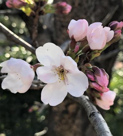 白馬村の休日☆2021年3月14日◇信濃路寄り道ショッピングから夕陽の美濃路へ。そして、我が家の桜♪