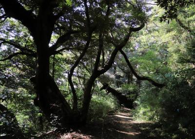 佐倉市散策(55)・・佐倉城址公園に樹木を訪ねて(後編)。