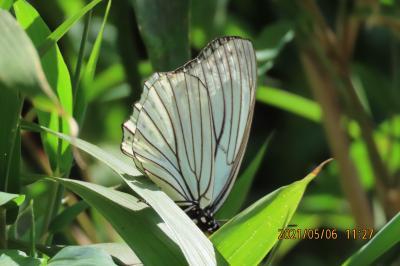 2021森のさんぽ道で見られた蝶⑪アカボシゴマダラ、キチョウ、イチモンジセセリ、ベニシジミ等
