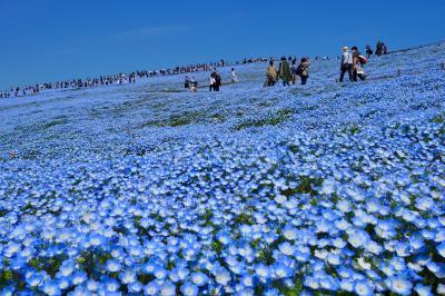 2021年春 青の絶景!丘と空がつながるネモフィラの国営ひたち海浜公園