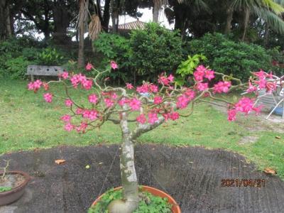 石垣再訪(10)川平湾の草花。