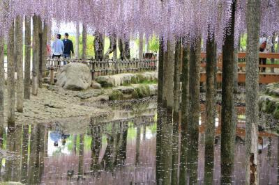 甘く香る津島天王川公園の満開の藤♪ 花筏がないなんて(;^_^A