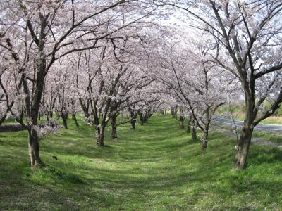 街歩き21・東温市 重信川沿いの桜