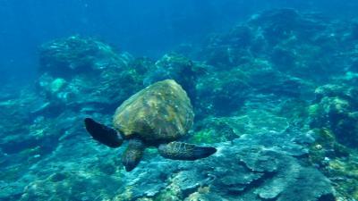 アオウミガメとスイム 八丈島でダイビング