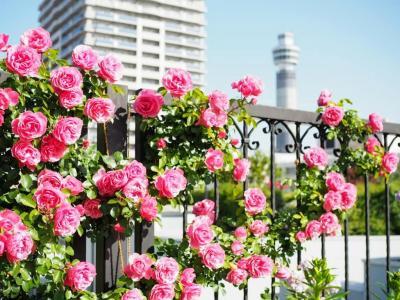 横浜ローズウィーク  バラを愛でに港の見える丘公園と山下公園へ ガーデンネックレス 2021YOKOHAMA