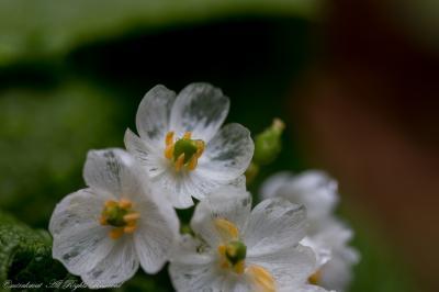 透き通る花びらのサンカヨウを求めて