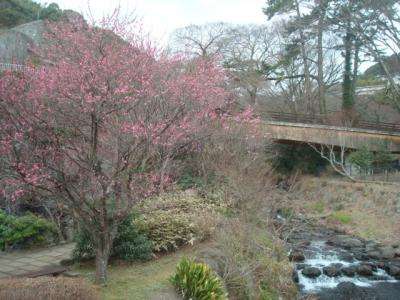 熱海梅園梅まつりと糸川桜まつりへ。宿泊先は旅荘天城。