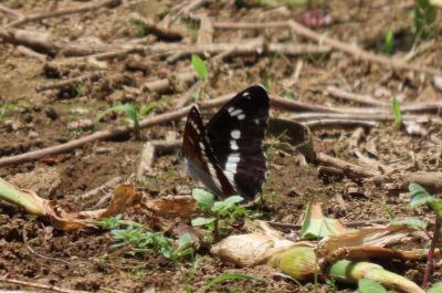 2021森のさんぽ道で見られた蝶(12)イチモンジチョウ、コミスジ、ツマグロヒョウモン、その他等
