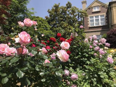 鳩山会館のバラ