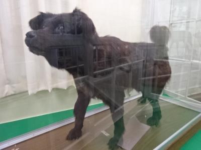 2021年北海道紀行、7、北大植物園の博物館で南極犬タロに会えた