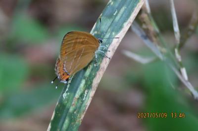 2021森のさんぽ道で見られた蝶(13)アカシジミ、ゴマダラチョウ、ツマグロヒョウモン、ルリタテハ等