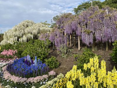 2021年 妖艶に咲き乱れる藤の花inあしかがフラワーパーク【前編】昼間の色とりどりなお花たち