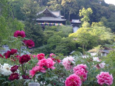 クロスカブで西国観音巡り 4日目 牡丹咲く長谷寺へ行きました。