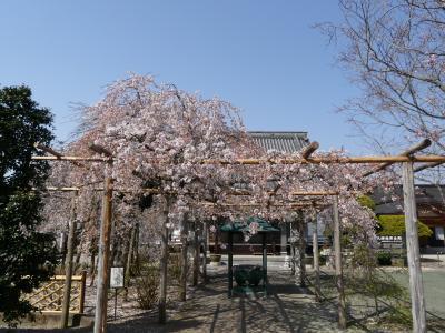 「西光院」の枝垂れ桜_2021_見頃過ぎ、散り進んでいました。(栃木県・佐野市)