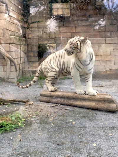 東武動物公園・ホワイトタイガーに会いに