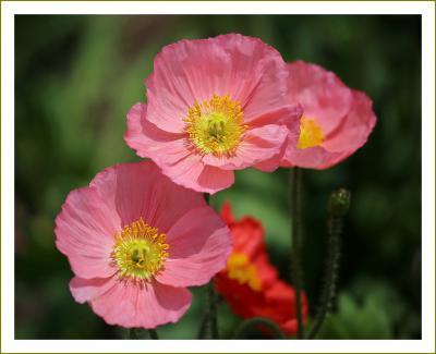Solitary Journey[2062]薄紫の藤の花もルピナスやポピーの花も時期的にちょうど見頃でした。<せらふじ園の藤棚>広島県世羅町