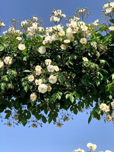 朝のドライブ 横浜山下公園のバラを見に