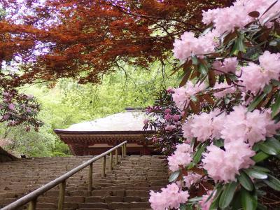 クロスカブで西国観音巡り 5日目 シャクナゲが咲き誇る室生寺へ行きました。