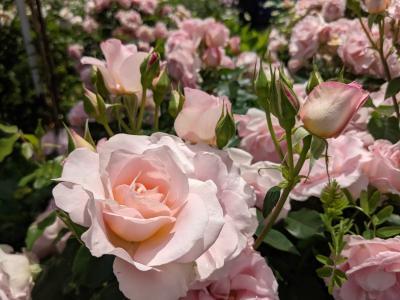 横浜イングリッシュガーデンの薔薇