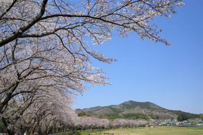 天覧山~日和田山 桜満開!春のハイキング