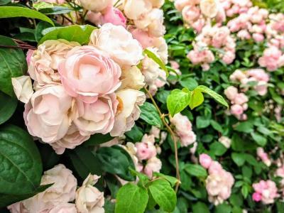 山下公園の薔薇  早くも満開