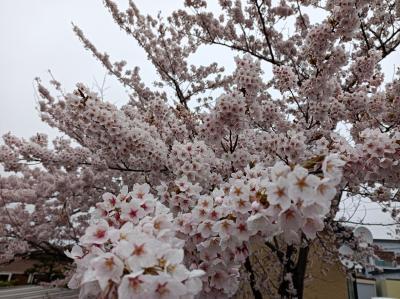 網走にも/こ~んなモコモコ状態の桜が咲いていました♪