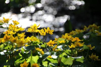 ◆黄金色の春~涌井の清水のリュウキンカ
