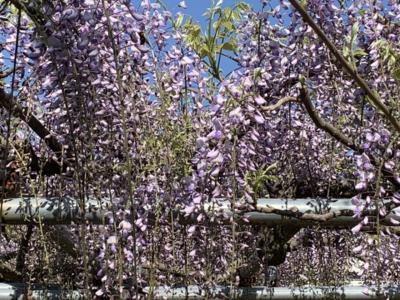 藤の花が咲く寺へ