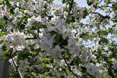 りんごの花と鶴の舞橋と