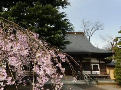 「普済寺」の枝垂れ桜_2021_3月25日は、ほぼ満開で見頃でした。(群馬県・館林市)