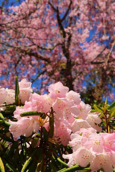 初めての大野寺のしだれ桜は・・・(西光寺・大野寺・談山神社)