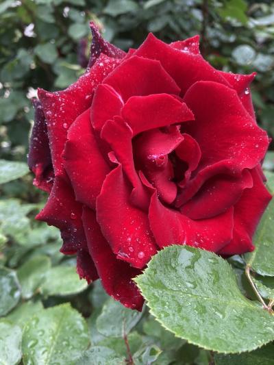 こんなに満開のバラをたくさん見たのは初めてーー京成バラ園花盛り!