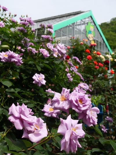 「とちぎ花センター」のバラ_2021_一部傷み始めてるが、まだ見頃です。(栃木県・栃木市)