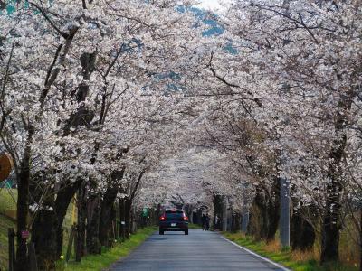4月になる前に栃木のソメイヨシノも見頃になったので太平山の桜を見に出かけてきました