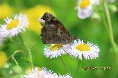 2021森のさんぽ道で見られた蝶(14)テングチョウ、アカボシゴマダラ、ツマグロヒョウモン等作成中