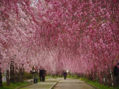 寒い日だったけど綺麗な時期に日中線のしだれ桜を見ることができました