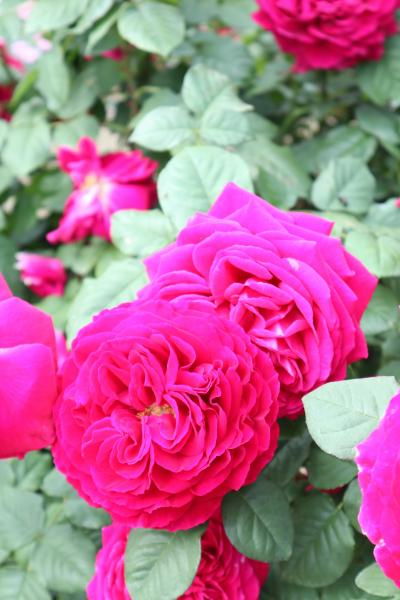 花菜ガーデンは、薔薇が見頃です!
