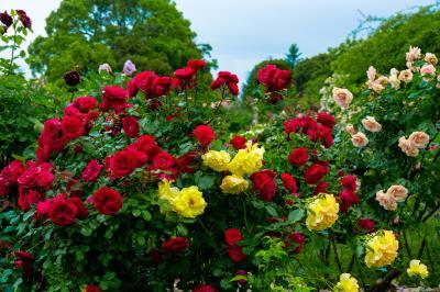 大神ファームのバラ 2021