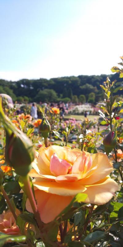 2021年春はバラ三昧。生田緑地ばら苑と自宅の一輪だけ咲いたバラ