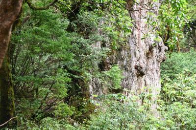 3000年の最強パワーチャージありがとう!縄文杉
