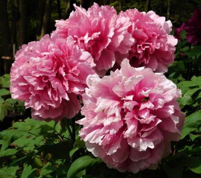 2021年4月 山口県・宇部市 ときわ公園に花を見に行きました。その2 牡丹苑