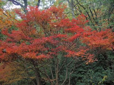 紅葉を見に大倉山へ行く